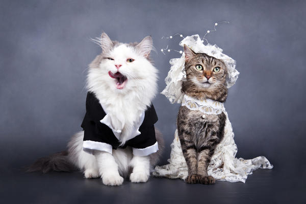 fva-1000-wedding-portrait-a-cat-shutterstock-83582038-600w