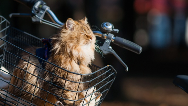 This is not Steve the Cat. But, this is a happy cat in a basket. Dare to dream, Steve. It could happen.