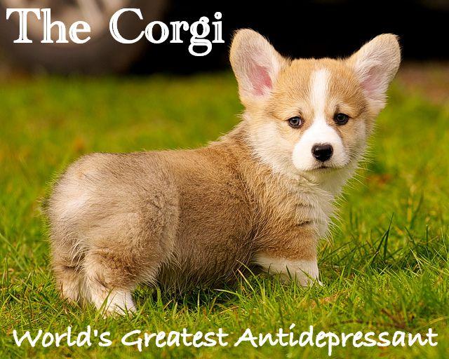 8b1024b49f31e96d0785576772d1f12d--baby-corgi-corgi-dog.jpg